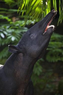 Malayan Tapir (Tapirus indicus) browsing, native to southeast Asia