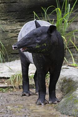 Malayan Tapir (Tapirus indicus), native to southeast Asia