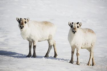 Svalbard Reindeer (Rangifer tarandus platyrhynchus) pair in snow, Svalbard, Norway