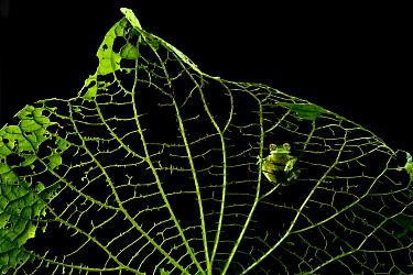 Emerald Glass Frog (Centrolene prosoblepon) on leaf ribs, Costa Rica