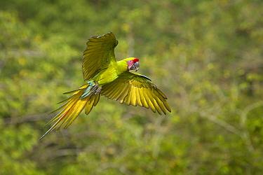 Great Green Macaw (Ara ambigua) flying, Costa Rica