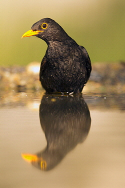 Eurasian Blackbird (Turdus merula) at pond, Serbia