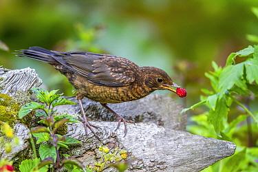 Eurasian Blackbird (Turdus merula) juvenile feeding on Woodland Strawberry (Fragaria vesca) fruit, Mecklenburg-Vorpommern, Germany