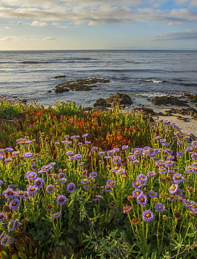Seaside Fleabane (Erigeron glaucus) flowering on beach, Pebble Beach, California