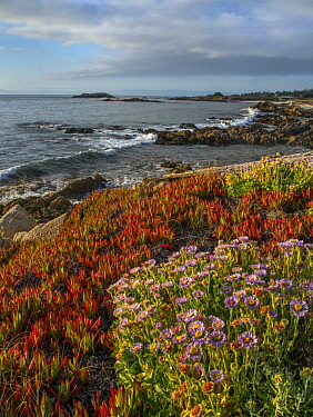 Ice Plant (Carpobrotus edulis) and flowering Seaside Fleabane (Erigeron glaucus) on coast, Pebble Beach, California