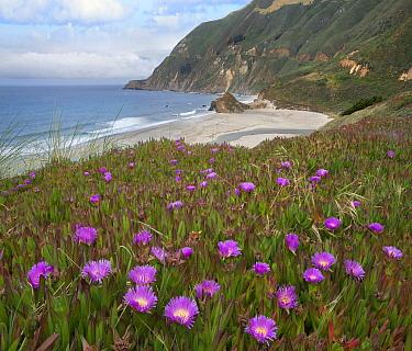 Ice Plant (Carpobrotus edulis) flowering along coast, Russian River, California