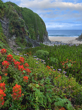 Paintbrush (Castilleja sp) and Seaside Fleabane (Erigeron glaucus) flowering on coast, Garrapata State Beach, Big Sur, California