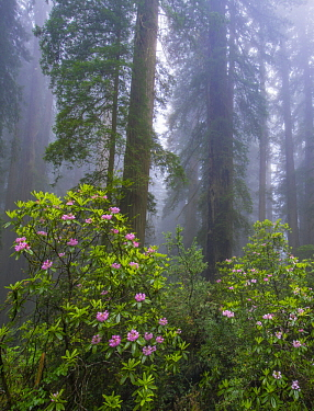 Rhododendron (Rhododendron sp) flowers and Coast Redwood (Sequoia sempervirens) trees in fog, Redwood National Park, California