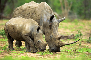 White Rhinoceros (Ceratotherium simum) mother and calf grazing, Hluhluwe-Umfolozi Game Reserve, South Africa