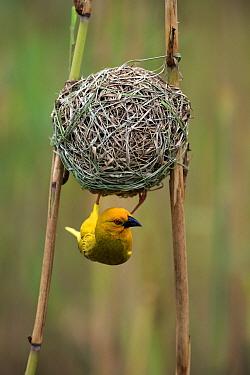 African Golden Weaver (Ploceus subaureus) male at nest, iSimangaliso Wetland Park, South Africa