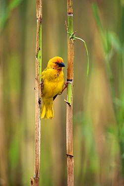 African Golden Weaver (Ploceus subaureus) male, iSimangaliso Wetland Park, South Africa