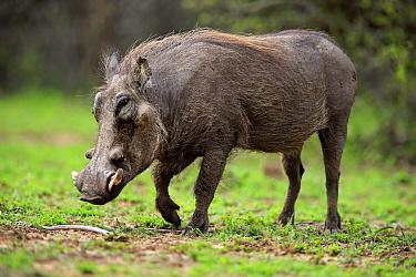 Cape Warthog (Phacochoerus aethiopicus), Hluhluwe-Umfolozi Game Reserve, South Africa