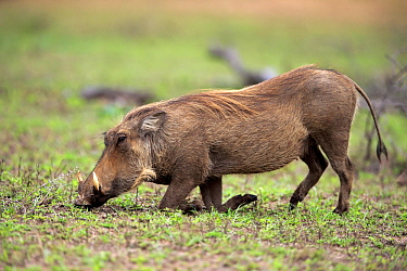 Cape Warthog (Phacochoerus aethiopicus) grazing, Hluhluwe-Umfolozi Game Reserve, South Africa