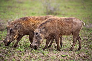 Cape Warthog (Phacochoerus aethiopicus) pair grazing, Hluhluwe-Umfolozi Game Reserve, South Africa