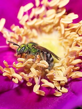 Metallic Green Bee (Agapostemon virescens) on Rose (Rosa sp) flower, Maine