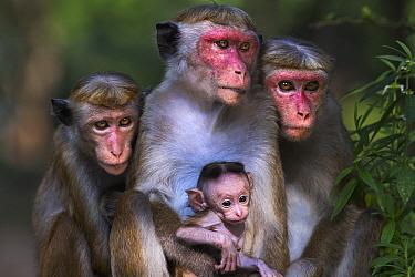 Toque Macaque (Macaca sinica) females and young, Polonnaruwa, Sri Lanka