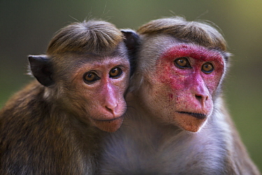 Toque Macaque (Macaca sinica) mother and juvenile daughter, Polonnaruwa, Sri Lanka