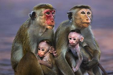 Toque Macaque (Macaca sinica) mothers and newborns, Polonnaruwa, Sri Lanka