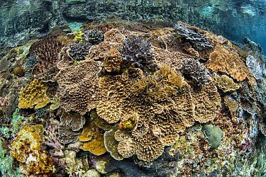 Soft Coral (Sinularia sp) in coral reef, Raja Ampat Islands, Indonesia
