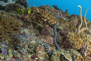 Banded Sea Krait (Laticauda colubrina) in coral reef, Raja Ampat Islands, Indonesia