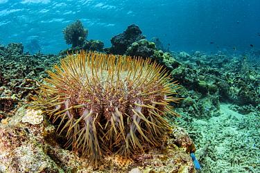 Crown-of-thorns Starfish (Acanthaster planci), Lesser Sunda Islands, Indonesia