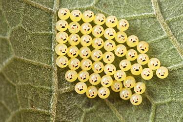 Stink Bug (Pentatomidae) eggs, Antananarivo, Madagascar