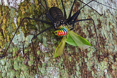 Tailless Whip Scorpion (Heterophrynus sp) with Katydid (Tettigoniidae) prey, Yasuni National Park, Ecuador