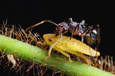 Ant (Polyrhachis rufipes) harvesting honeydew from Leafhopper (Cicadellidae), Gunung Leuser National Park, Sumatra, Indonesia