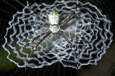 Garden Orb Weaver (Argiope sp) in web, Udzungwa Mountains National Park, Tanzania
