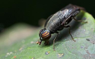 Soldier Fly (Stratiomyidae) female, beetle mimic, Udzungwa Mountains National Park, Tanzania