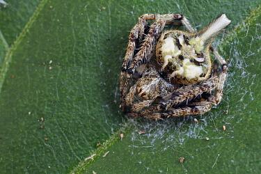 Orb-weaver Spider (Eriovixia sp), bird dropping mimic, Cuc Phuong National Park, Vietnam
