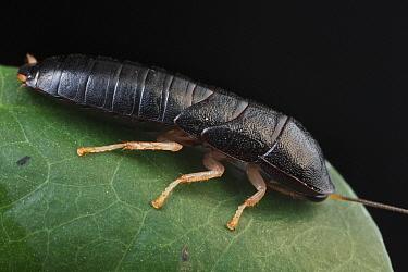Cockroach (Blattidae), Udzungwa Mountains National Park, Tanzania