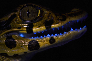 Black Caiman (Melanosuchus niger) young, photographed under UV light, Yasuni National Park, Ecuador