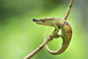 Blue-nosed Chameleon (Calumma boettgeri), Montagne D'Ambre National Park, Madagascar
