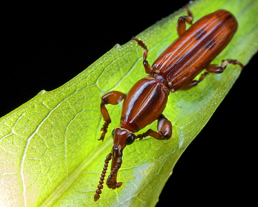 Straight-snouted Weevil (Brentidae), Mount Isarog National Park, Philippines
