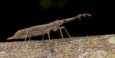 Straight-snouted Weevil (Brentidae) with mite, Mount Kinabalu National Park, Sabah, Borneo, Malaysia