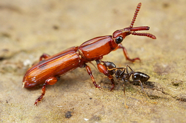 Ant (Crematogaster sp) attacking Straight-snouted Weevil (Brentidae), Mount Isarog National Park, Philippines