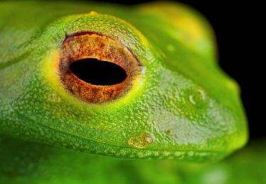 Malagasy Web-footed Frog (Boophis luteus), Antananarivo, Madagascar