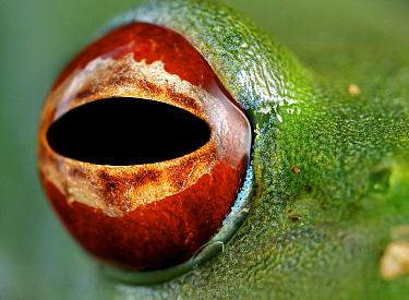 Malagasy Web-footed Frog (Boophis luteus) eye, Antananarivo, Madagascar