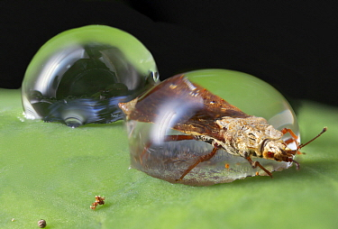 Flat Bug (Aradidae) trapped in water droplet, Mananara Nord National Park, Madagascar