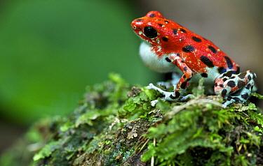 Strawberry Poison Dart Frog (Oophaga pumilio), bastimentos morph, male calling, Bastimentos Island, Panama