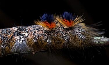 Tent Caterpillar Moth (Borocera cajani) caterpillar, Antananarivo, Madagascar