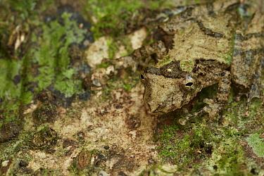 Eirunepe Snouted Treefrog (Scinax garbei) camouflaged on tree, Yasuni National Park, Ecuador