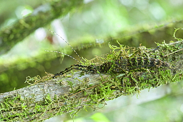 Leaf Insect (Parectatosoma sp) camouflaged on mossy branch, Antananarivo, Madagascar