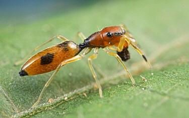 Ant-mimicking Jumping Spider (Myrmarachne sp), Virunga National Park, Democratic Republic of the Congo