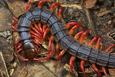Centipede (Alipes sp), Udzungwa Mountains National Park, Tanzania