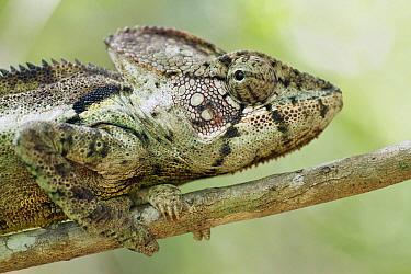 Oustalet's Chameleon (Furcifer oustaleti), Andasibe-Mantadia National Park, Antananarivo, Madagascar