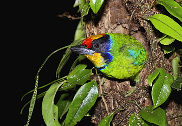 Golden-throated Barbet (Megalaima franklinii) in nest cavity, Bach Ma National Park, Vietnam