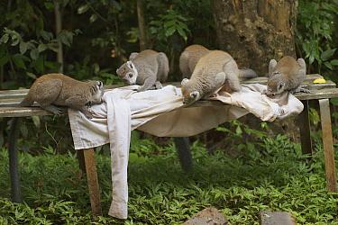 Crowned Lemur (Eulemur coronatus) group licking salt off shirt, Ankarana Special Reserve, Madagascar