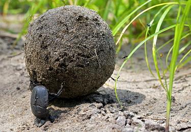 Dung Beetle (Scarabaeidae) rolling dung ball, Katavi National Park, Tanzania
